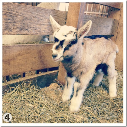 cutest goat on the internet